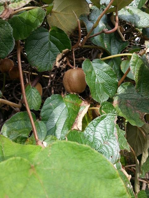 Kiwi kiwi tree fruit, food drink.