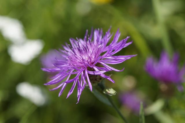 Knapweed wild plant wild flower.