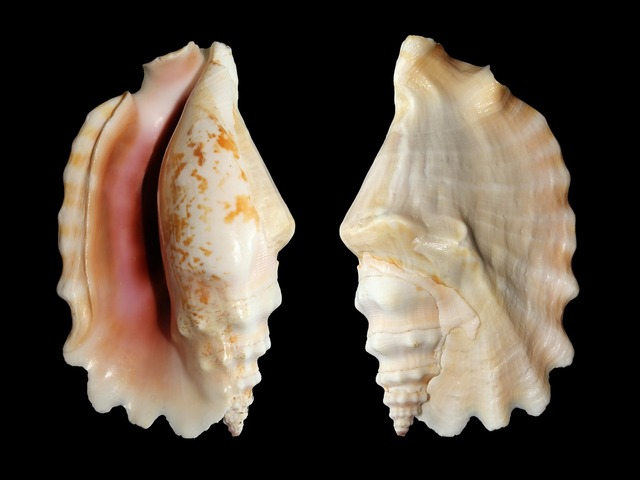 Knobbed conch snail shell.