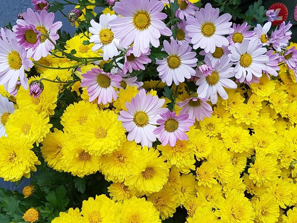 Kogiku yellow fall flowers, nature landscapes.