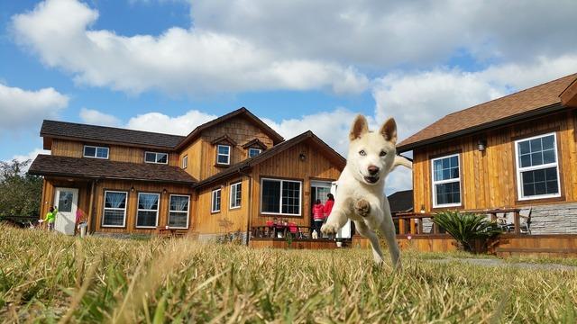 Korean jindo dog breed korean jindo dog, animals.