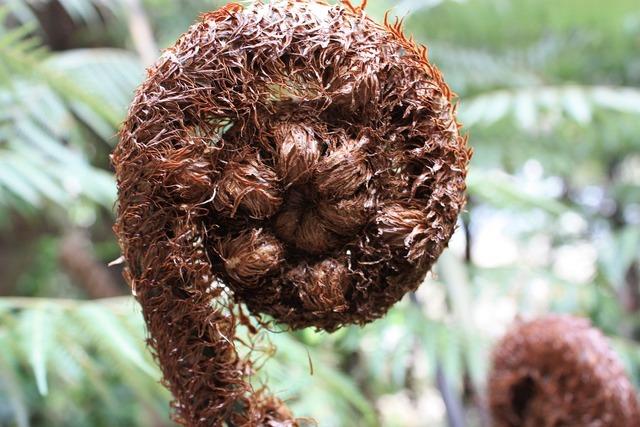 Koru native tree fern, nature landscapes.