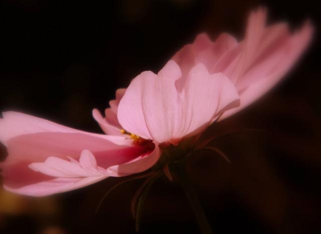 Kosmee blossom bloom.