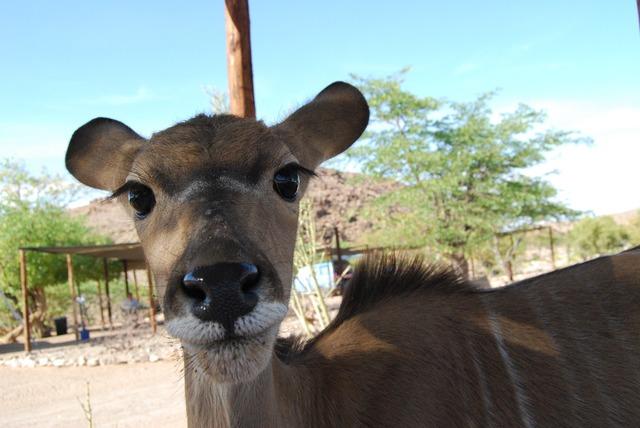 Kudu eyes eyelashes, animals.