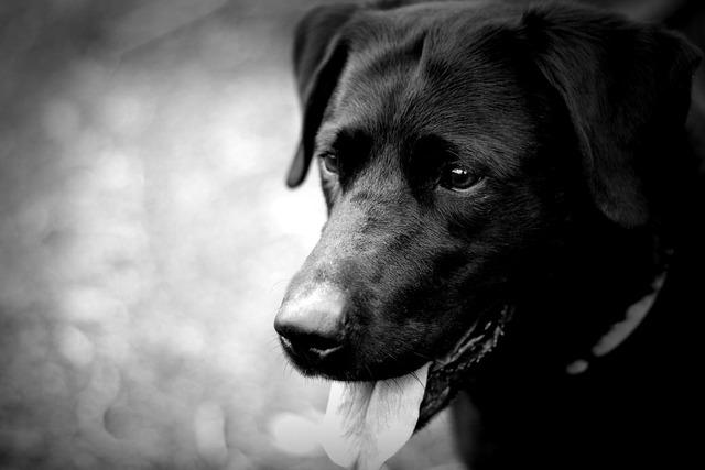 Labrador dog black, animals.