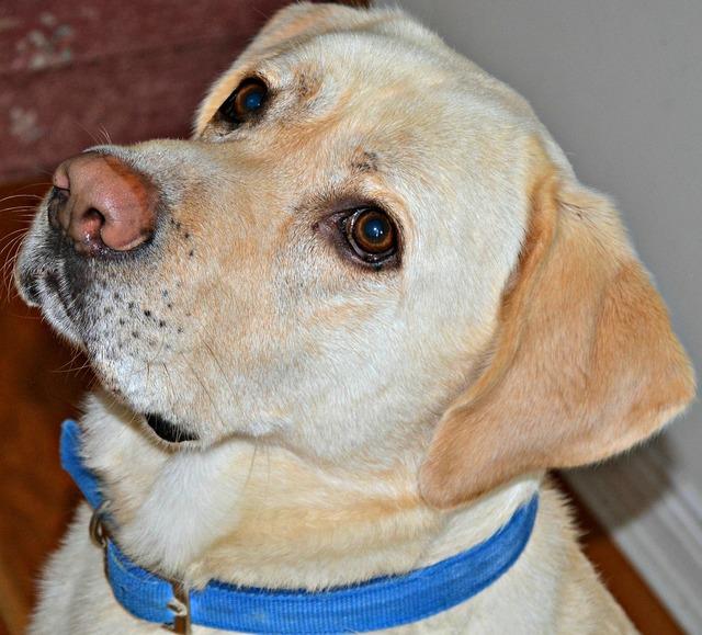 Labrador dog breed, animals.
