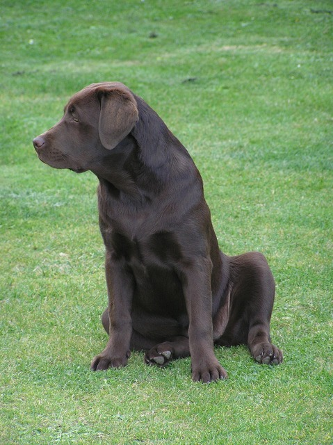 Labrador dog chocolate, animals.