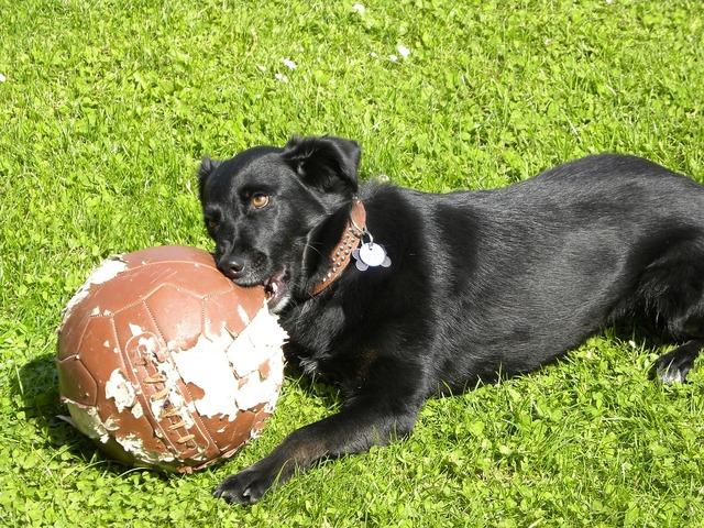 Labrador dog football, animals.