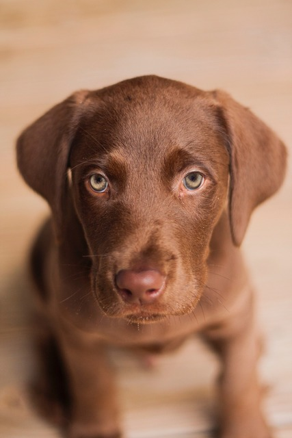 Labrador dog puppy, animals.