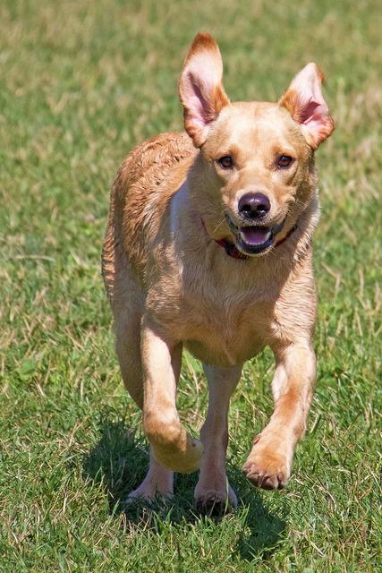 Labrador puppy retriever, animals.