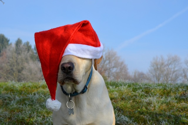 Labrador retriever santa christmas, animals.