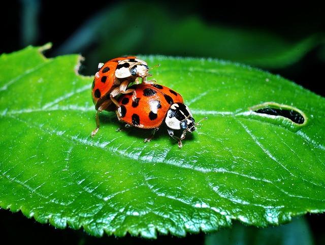 Ladybugs multiplication leaf.