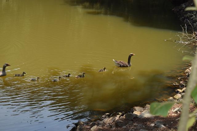 Lake duck birds.