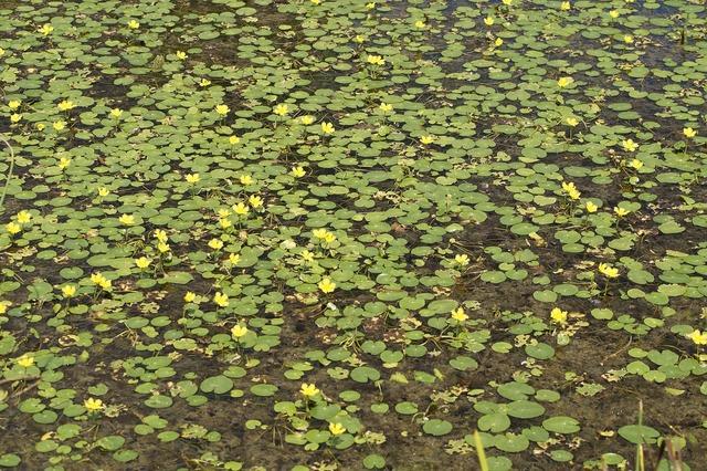 Lake yellow yellow teichrosen.