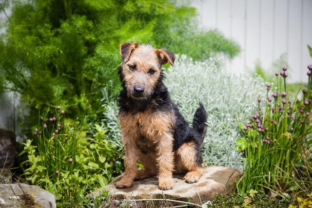 Lakeland terrier dog terrier, animals.