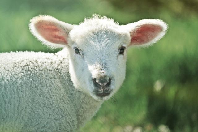 Lamb sheep animal, animals.