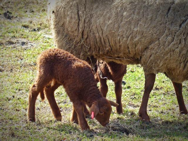 Lamb sheep passover, animals.