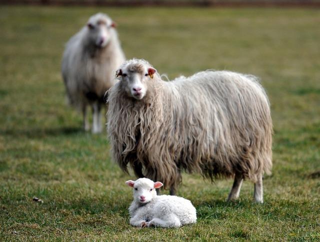 Lamb sheep passover, nature landscapes.