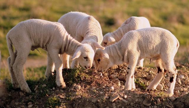 Lamb the flock play, animals.