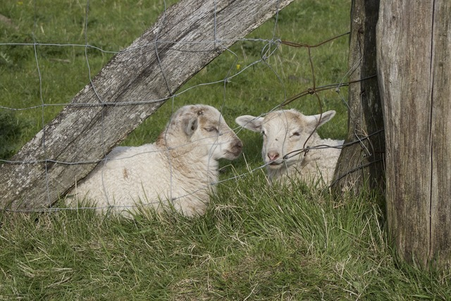 Lambs animal schäfchen, animals.