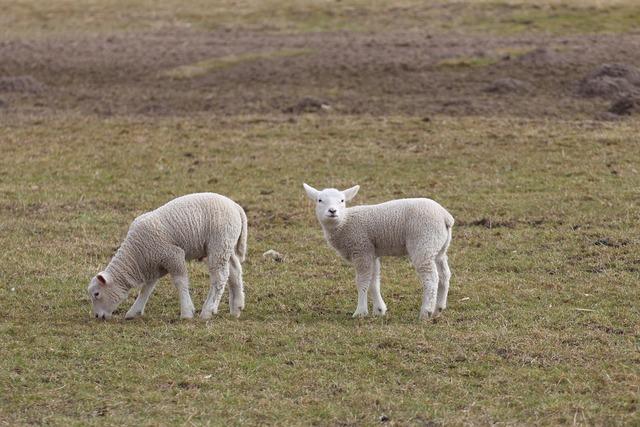 Lambs lamb schäfchen, animals.