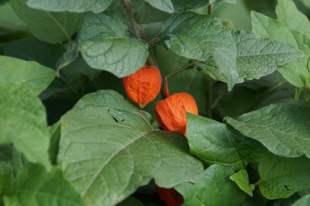 Lampion lampionblumen orange, nature landscapes.