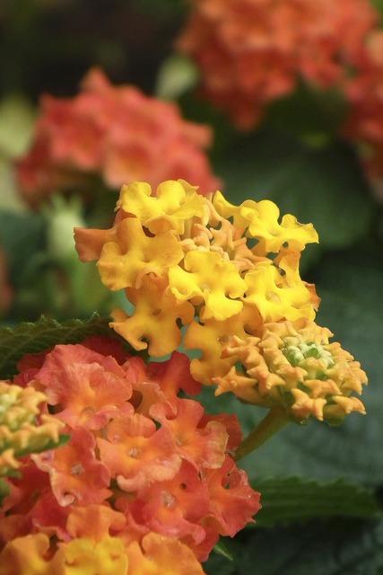 Lantana blossom bloom, nature landscapes.