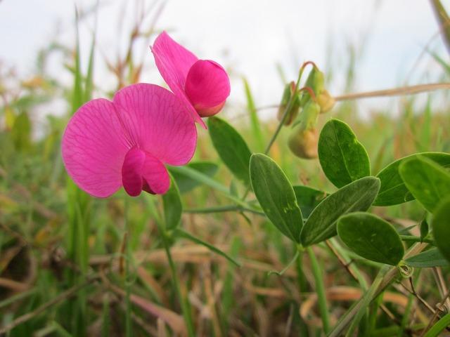 Lathyrus tuberosis tuberous pea tuberous vetchling, nature landscapes.