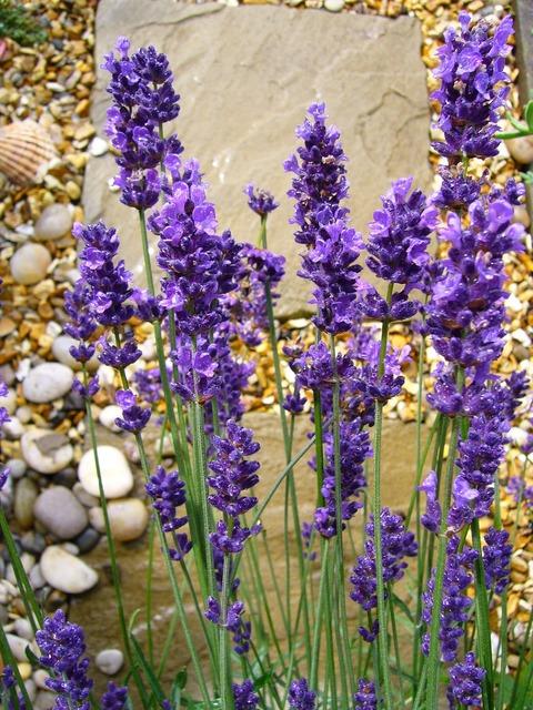Lavandula lavender flower.