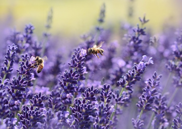 Lavender bee summer.