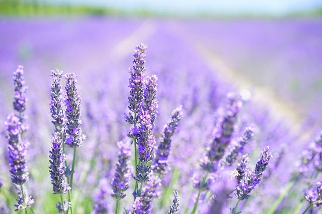 Lavender blossom purple violet, nature landscapes.