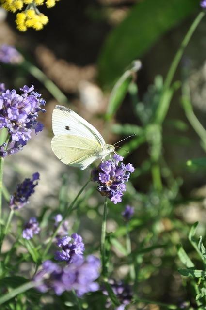 Lavender butterfly nature, nature landscapes.