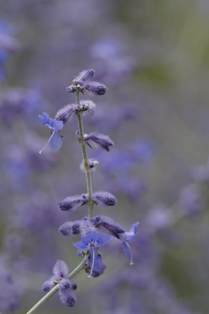 Lavender close stengel, nature landscapes.