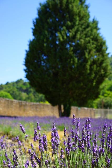 Lavender cultivation field management, nature landscapes.