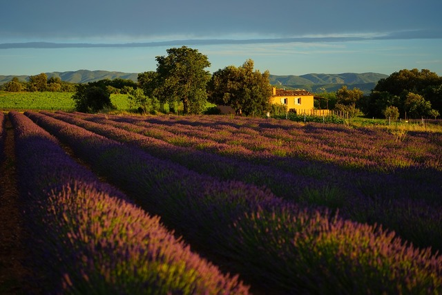 Lavender field evening light evening, nature landscapes.