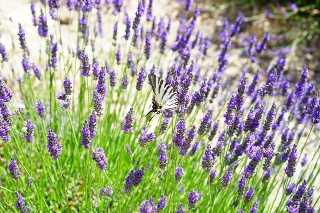 Lavender field flowers purple, nature landscapes.