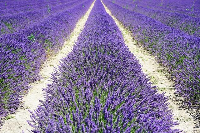 Lavender field lane away, nature landscapes.