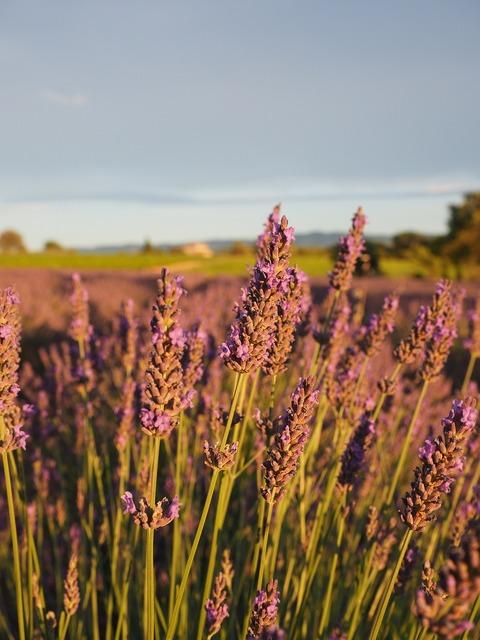Lavender field lavender evening sun.