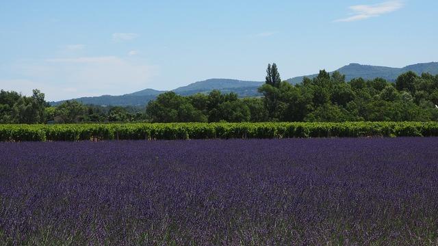 Lavender field lavender lavender cultivation.