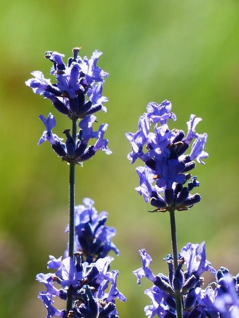 Lavender flower flowers.