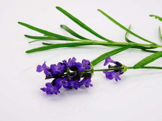 Lavender flower purple, nature landscapes.