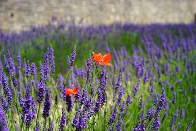 Lavender flowers blue flowers, nature landscapes.