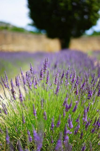 Lavender flowers blue, nature landscapes.