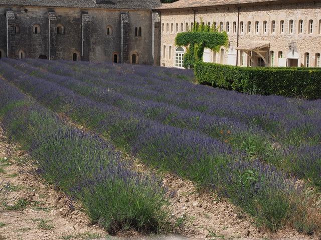 Lavender flowers blue, religion.