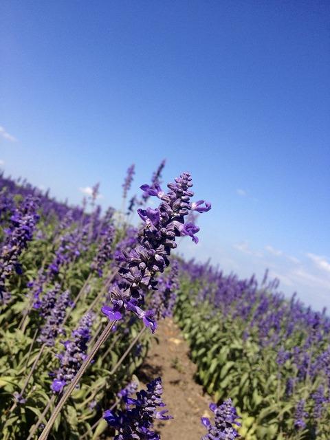 Lavender flowers fields, nature landscapes.