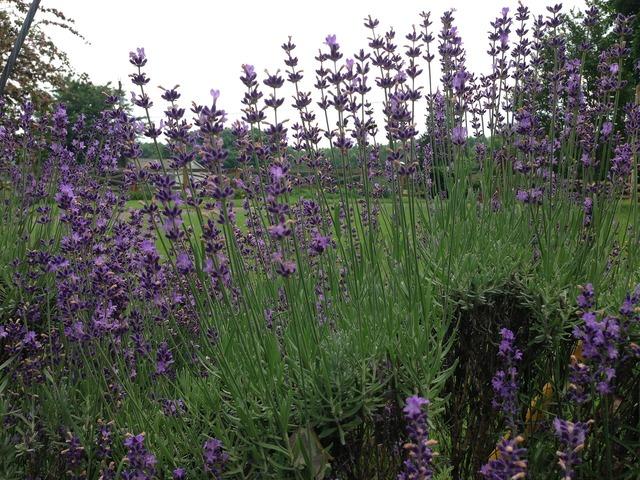 Lavender flowers floral plants.