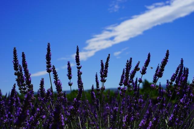 Lavender flowers flowers purple, nature landscapes.