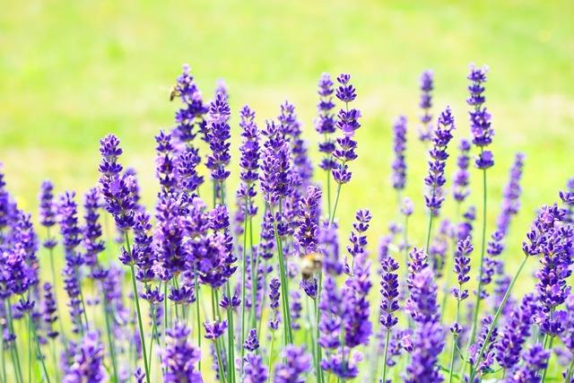 Lavender flowers purple, nature landscapes.