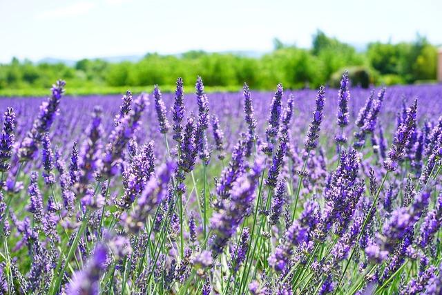 Lavender flowers violet flowers, nature landscapes.