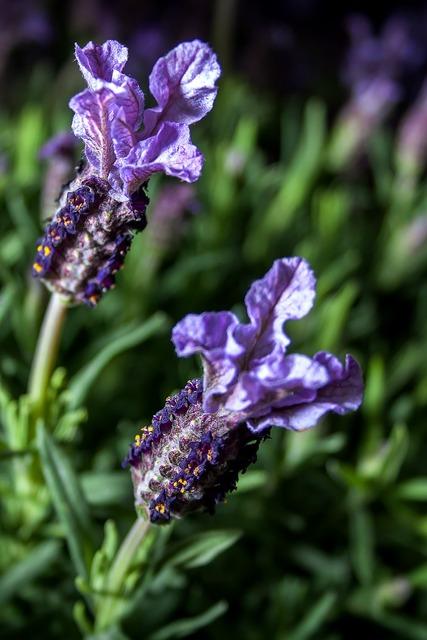 Lavender herbs nature, nature landscapes.